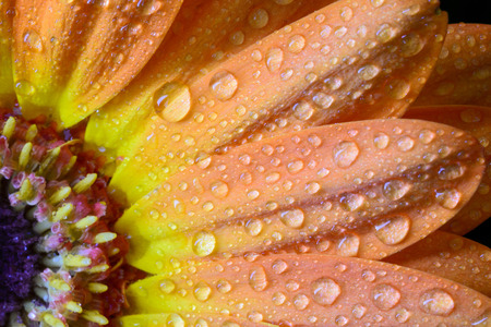 Petals os orange daisy with sprinklers of water