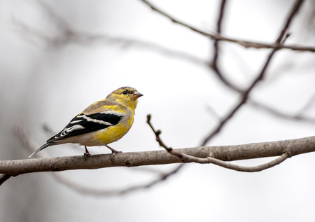 goldfinch: American goldfinch perched on tree branch