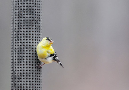 goldfinch: American goldfinch perched on bird feeder Stock Photo