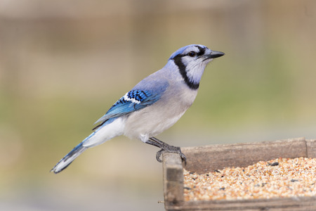 jay: BLue jay bird perched on a bird feeder.