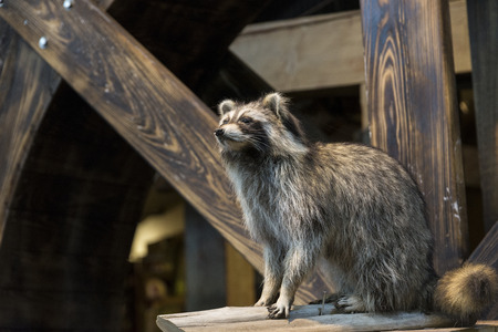 racoon: Racoon sitting and waiting on top of wooden structure