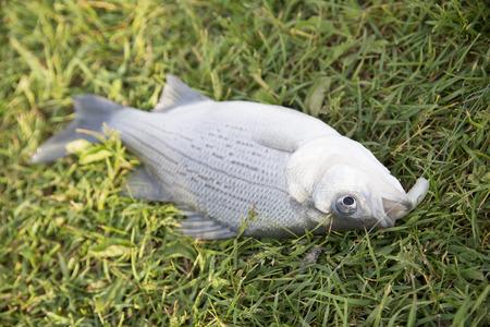 芝生エリアに死んだ魚。
