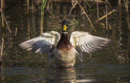 intimidate: A mallard spreading its wing trying to intimidate .