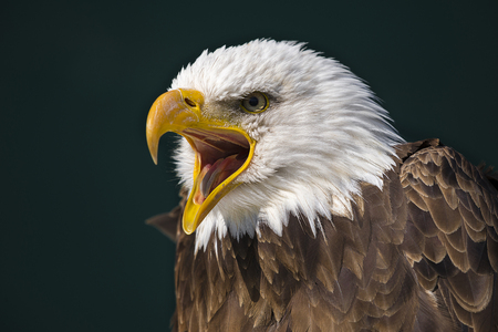 Screaming american bald eagle with dark green back ground Фото со стока