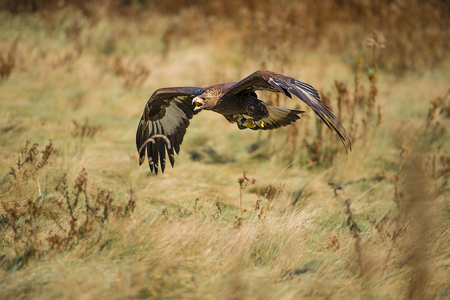 aquila: The golden eagle (Aquila chrysaetos) is one of the best-known birds of prey in the Northern Hemisphere. It is the most widely distributed species of eagle. Like all eagles, it belongs to the family Accipitridae. Stock Photo