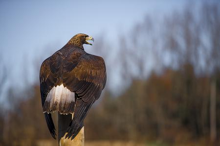 aguila real: El águila real (Aquila chrysaetos) es una de las aves más conocidas de presa en el hemisferio norte. Es la especie más ampliamente distribuida de águila. Como todas las águilas, pertenece a la familia Accipitridae.