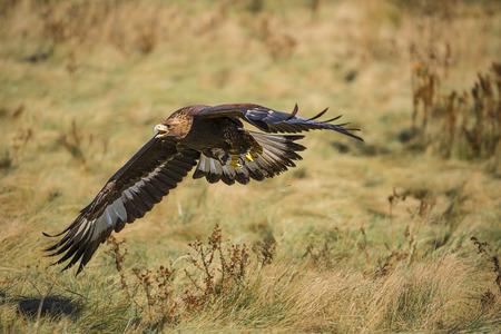 aigle royal: L'aigle royal (Aquila chrysaetos) est l'un des oiseaux les plus connus de proie dans l'h�misph�re Nord. Ce sont les esp�ces les plus r�pandues de l'aigle. Comme tous les aigles, il appartient � la famille des Accipitridae.