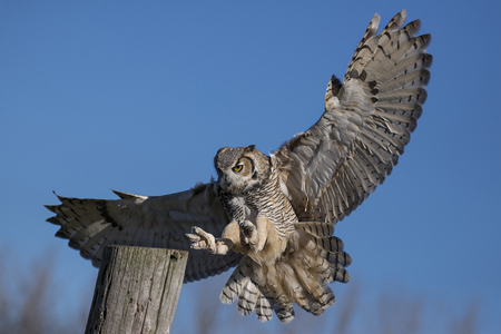 flights: The great horned owl (Bubo virginianus), also known as the tiger owl (originally derived from early naturalists description as the winged tiger or tiger of the air) or the hoot owl,[2] is a large owl native to the Americas.