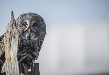documented: The great grey owl or great gray owl  is a very large owl, documented as the worlds largest species of owl by length. It is distributed across the Northern Hemisphere. In some areas it is also called Phantom of the North, cinereous owl, spectral owl, Lap