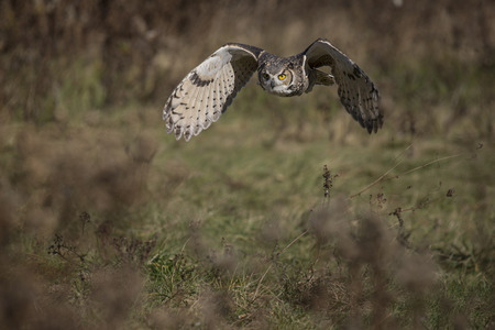 The great horned owl (Bubo virginianus), also known as the tiger owl (originally derived from early naturalists' description as the