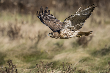 colloquially: The red-tailed hawk (Buteo jamaicensis) is a bird of prey, one of three species colloquially known in the United States as the chickenhawk, though it rarely preys on standard sized chickens. Stock Photo