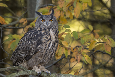 resides: The Eurasian eagle-owl (Bubo bubo) is a species of eagle-owl that resides in much of Eurasia. It is sometimes called the European eagle-owl and is, in Europe, where it is the only member of its genus besides the snowy owl (B. scandiacus), occasionally abb Stock Photo