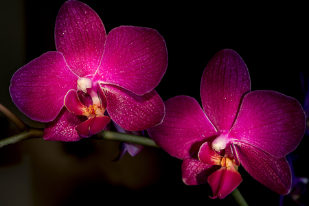 abbreviated: Phalaenopsis, known as moth orchids, abbreviated Phal in the horticultural trade, is an orchid genus of approximately 60 species.