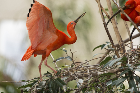 curved leg: The Scarlet Ibis is a species of ibis in the bird family Threskiornithidae.