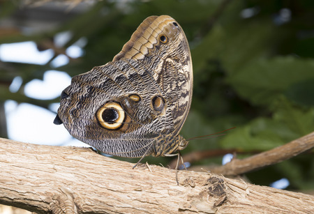 The Owl Butterfly is named for the giant spots resembling the eyes of an owl on its ventral hindwings. Banco de Imagens - 54793218