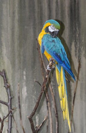 ararauna: The blue-and-yellow macaw (Ara ararauna), also known as the blue-and-gold macaw