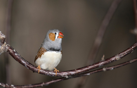 avoiding: The Zebra Finch is the most common and familiar estrildid finch of Central Australia and ranges over most of the continent, avoiding only the cool moist south and the tropical far north.