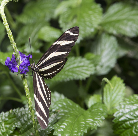 longwing: Hewitsons Longwing occurs on the Pacific Slope of western Panama and Costa Rica. Stock Photo