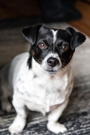 jack russell terrier: a Jack russell terrier striking a pose.
