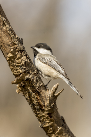 The chickadees are a group of North American birds in the tit family included in the genus Poecile. Species found in North America are referred as chickadees, while other species in the genus are called tits. 免版税图像