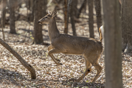 The white-tailed deer (Odocoileus virginianus), also known as the whitetail or Virginia deer, is a medium-sized deer native to the United States, Canada, Mexico, Central America, and South America as far south as Peru and Bolivia.