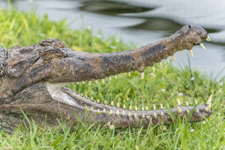 The slender-snouted crocodile (Mecistops cataphractus) is a critically endangered species of crocodile from Africa.