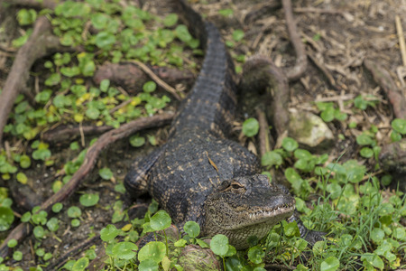 The American alligator (Alligator mississippiensis), sometimes referred to colloquially as a gator or common alligator, is a large crocodilian reptile endemic to the southeastern United States.