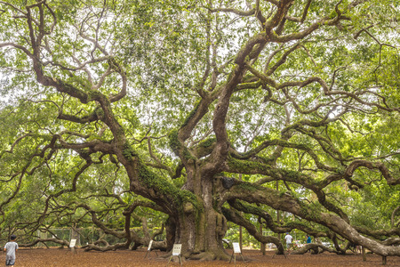 Angel Oak is a Southern live oak (Quercus virginiana) located in Angel Oak Park on Johns Island near Charleston, South Carolina. The tree is estimated to be 400-500 years old.