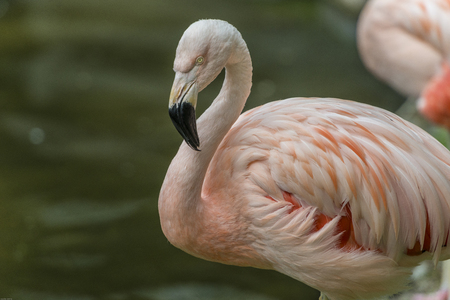 Flamingos or flamingoes are a type of wading bird in the family Phoenicopteridae, the only bird family in the order Phoenicopteriformes. Banco de Imagens