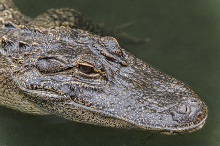 The American alligator (Alligator mississippiensis), sometimes referred to colloquially as a gator or common alligator, is a large crocodilian reptile endemic to the southeastern United States. 版權商用圖片 - 102724826