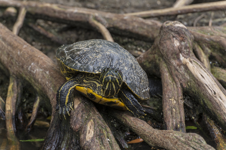 The yellow-spotted Amazon river turtle or yellow-spotted river turtle (Podocnemis unifilis) is one of the largest South American river turtles