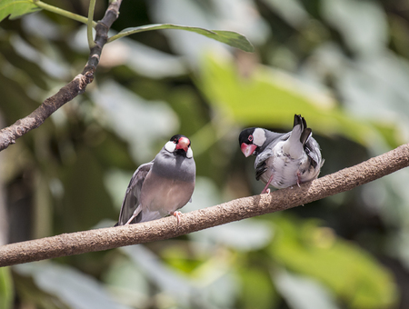 The Java Sparrow also known as Java Finch, Java Rice Sparrow or Java Rice Bird is a small passerine bird. Banco de Imagens