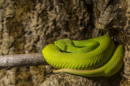 The eastern green mamba (Dendroaspis angusticeps), also known as the common mamba, East African green mamba, green mamba, or white-mouthed mamba, is a large, tree-dwelling, highly venomous snake species of the mamba genus Dendroaspis. Banco de Imagens