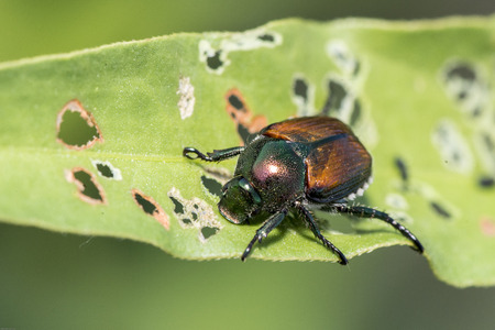The Japanese beetle is a common species of beetle. It is about 15 mm long and 10 mm wide, with iridescent copper-colored elytra and green thorax and head.