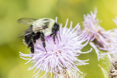 Carpenter bees are species in the genus Xylocopa of the subfamily Xylocopinae. The genus includes some 500 species in 31 subgenera.