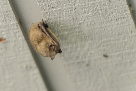 Tiny bat hanging on the wooden ceiling. Banco de Imagens