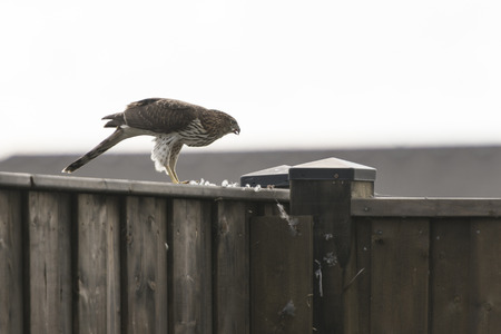 Hawk perched on a fence feeding on his catch.