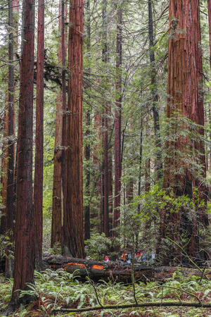 Tall trees at John Muir Red wood national park in USA