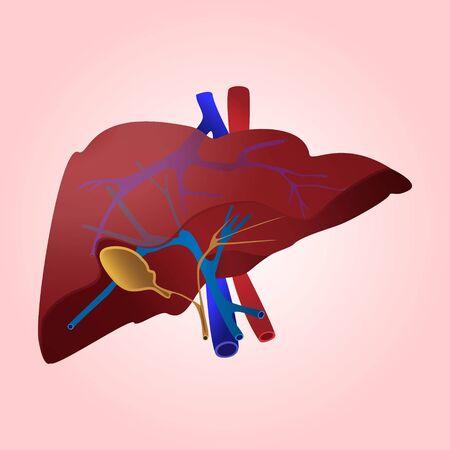 Liver anatomy. Vector illustration.