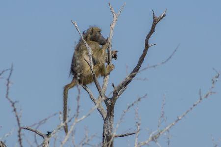 baboon: Baboon in the tree