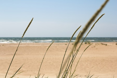 unemotional: Spikelets on the background of the beach and the sea on a sunny day