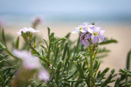 iceplant: Lilac flowers growing on the beach near the sea, blurry background Stock Photo