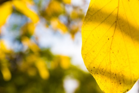 alder tree: beautiful autumn macro yellow leaves on an blue and green background blurred