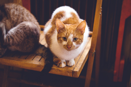lovable: Lovable ginger cat sitting on the chair at home