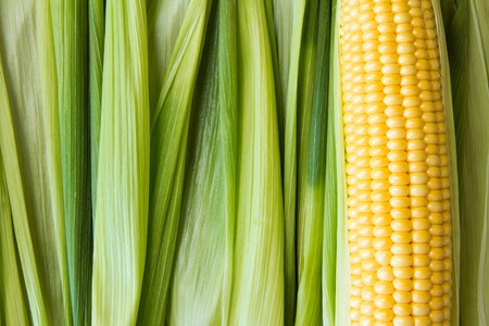Ripe yellow corn grains on cob and green leaves. Closeup.