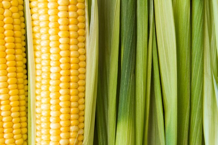 Ripe yellow corn grains on cob and green leaves. Closeup.