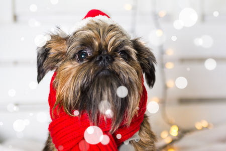 Shihtzu dog wearing Santa Claus hat. Year of the dog concept Stock Photo