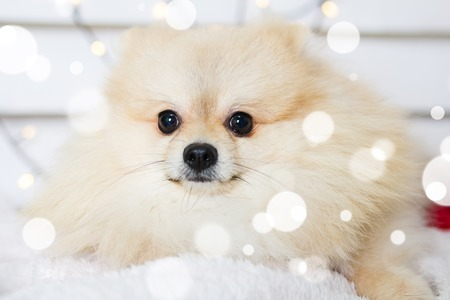 Pomeranian dog wearing Christmas costume. Year of the dog concept Stock Photo