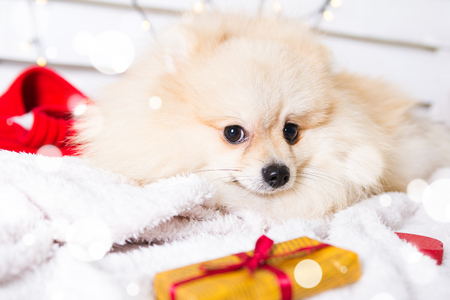 Pomeranian dog wearing Christmas costume. Year of the dog concept Foto de archivo