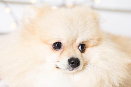 Pomeranian dog wearing Christmas costume. Year of the dog concept Stock Photo